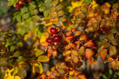 Rosehip bush with berries in sunlight