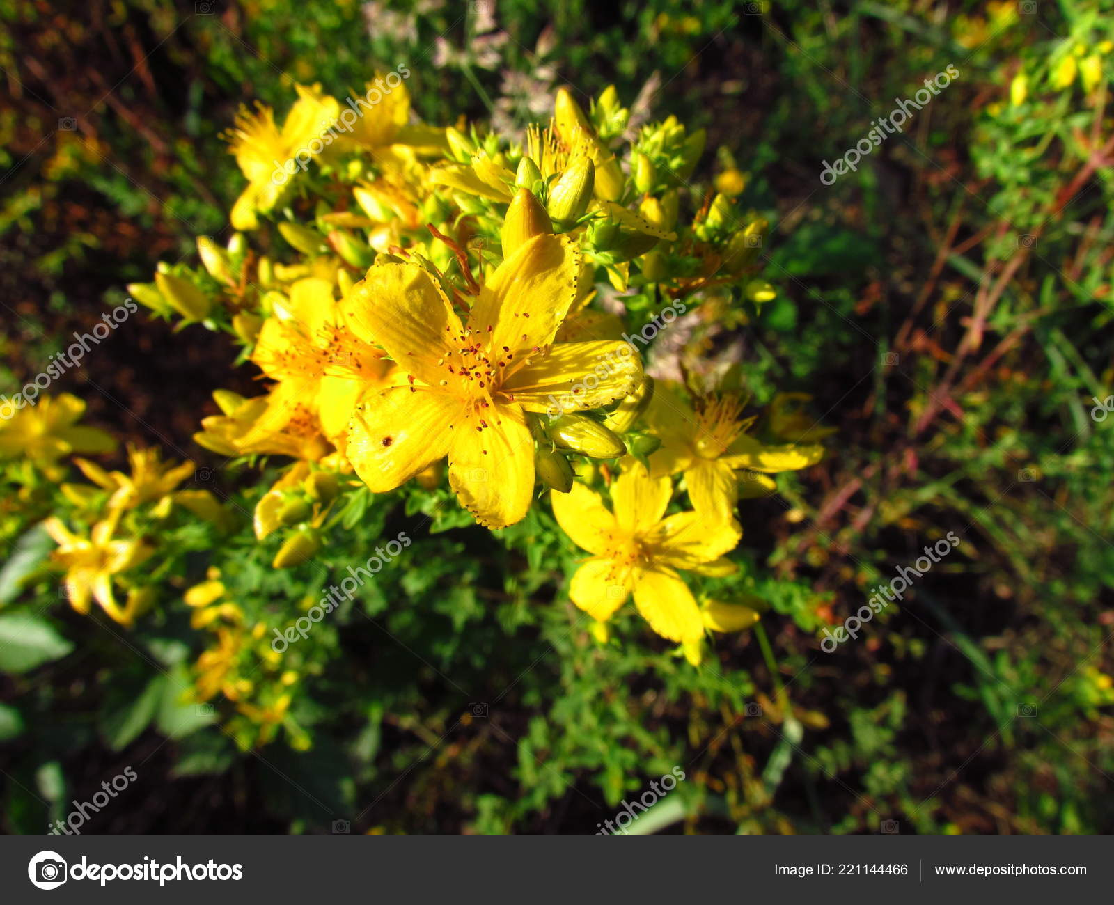Hypericum Perforatum Detalle De Flor Amarilla De La Planta