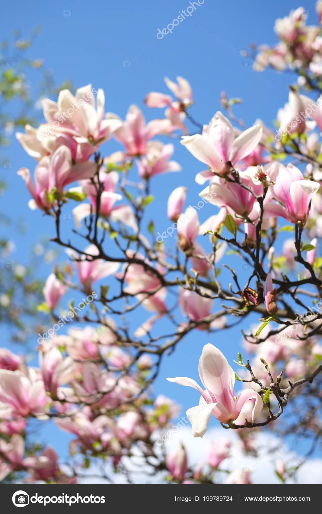 Magnolia Tree Buds Tender White Pink Flowers Blue Sky Stock Photo