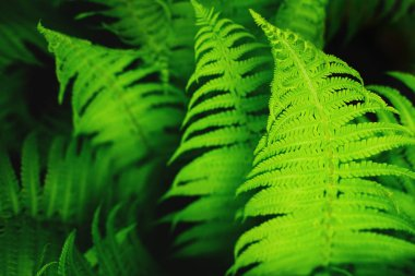 Beautiful fresh green ferns leaves as background in sunlight.