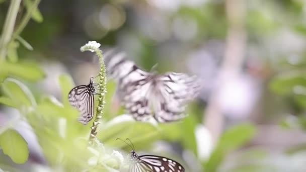 Skupina skelných tygřích motýlů (Parantica aglea) sajících nektar na zelené rostlině s rozmazaným přírodním pozadím v botanické zahradě