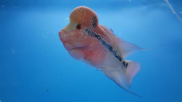 Virág Horn közhelyes halak az akváriumban. Fej vörös sügér