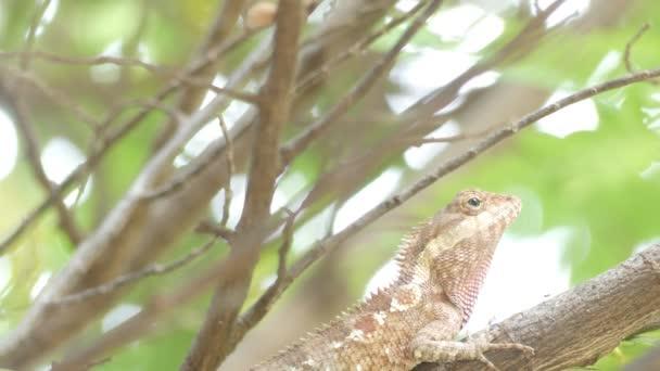 Společné Chameleon nebo středomořské Chameleon dívá větve - Chameleon chameleon