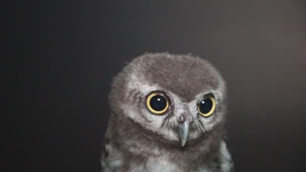 Cu virginský (Bubo virginianus) rozhlížel po noci, malá sova při pohledu kamery na černém pozadí,
