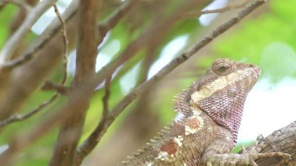 Colorful Panther Chameleon (Furcifer pardalis) close up with on the tree,