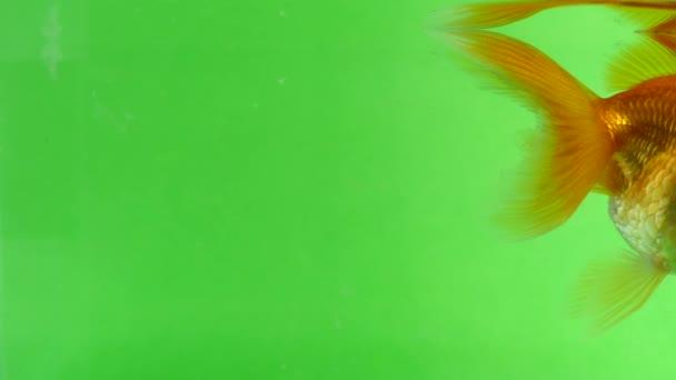 Goldfisch-Spaß beim Schwimmen auf grünem Bildschirm, schnell isoliert
