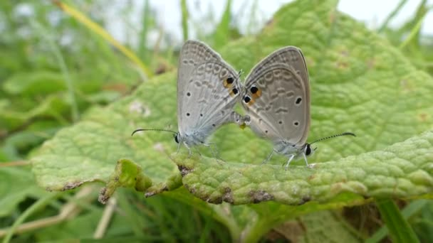 butterfly on nature lifestyle concept, two butterflies mate, Nymphalis polychloros butterfly.