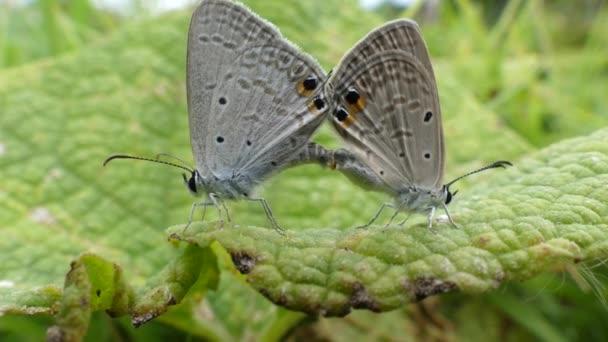 Dvě motýly na listech s videem 4k,