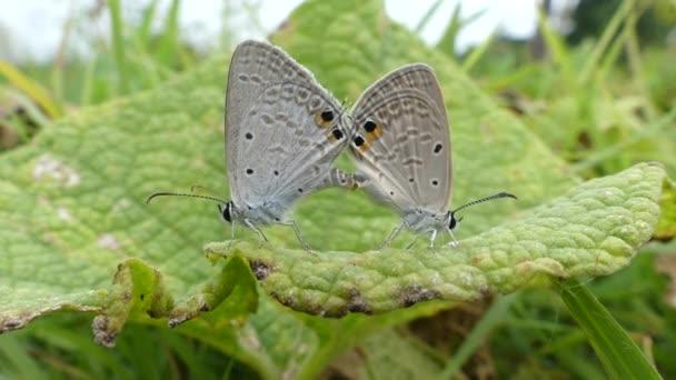 Zwei Schmetterlinge paaren sich. Großer Schildkrötenpanzer, Nymphalis polychloros Schmetterling, Schmetterling nach Naturkonzept.