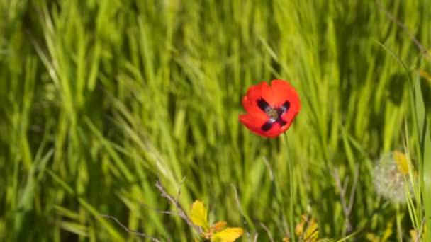 Červená makový květ. Mezi zelené trávy