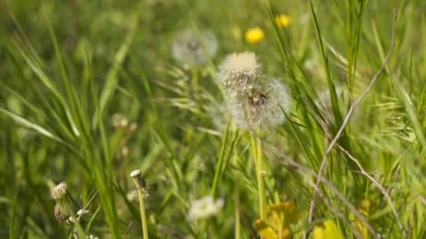 Pampelišky květy. Jarní pozadí s pampelišky