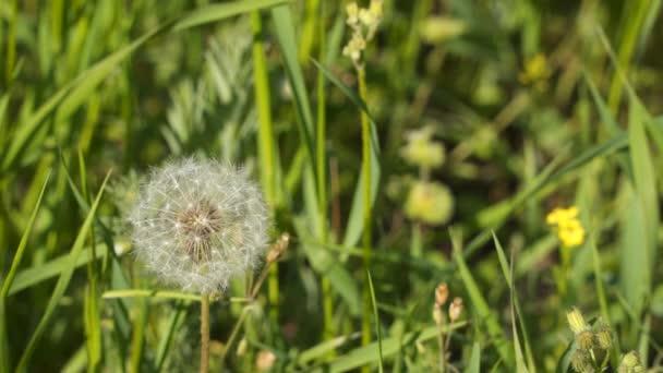 Pampeliška květ v louce. Pampelišky hlavu v poli