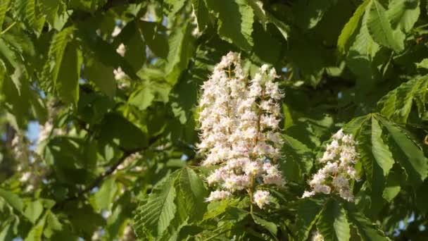 Kvetoucí kaštan květ na větev stromu mezi zelenými listy