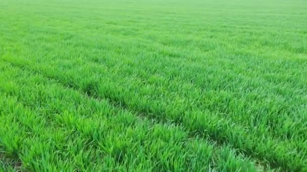 Növényi hajtások a tavaszi gazdaság területén. Légifelvétel