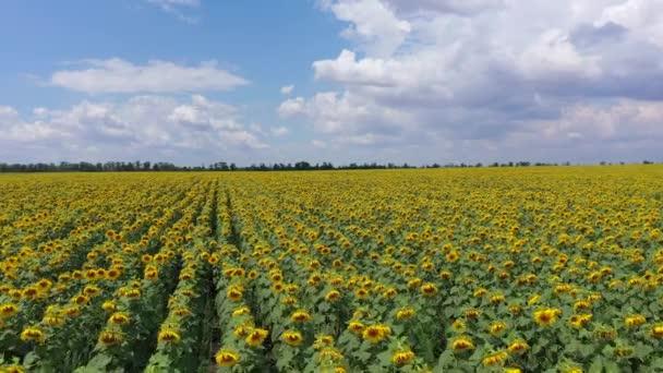 Kvetoucí slunečnice. Letecký pohled