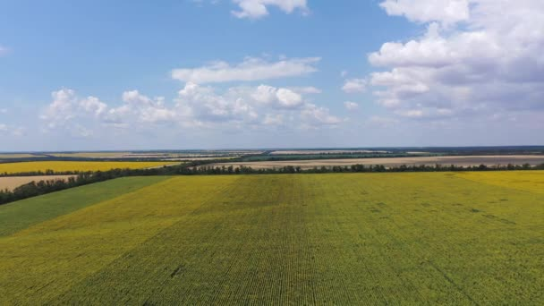 Fields of wheat and blooming sunflower. Aerial view