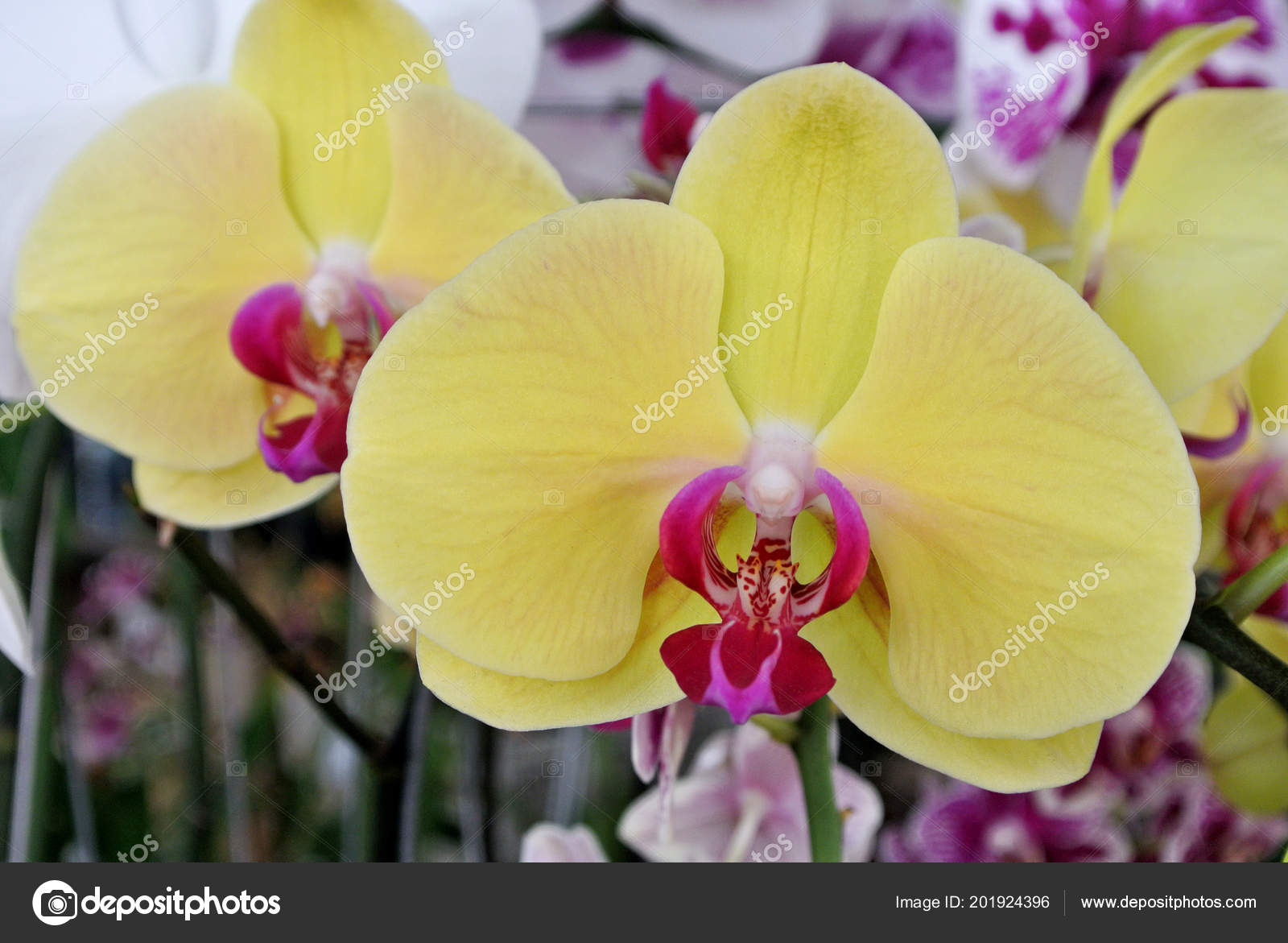 Colorful Tropical Exotic Orchids Flower Plants Nursery Stock Photo