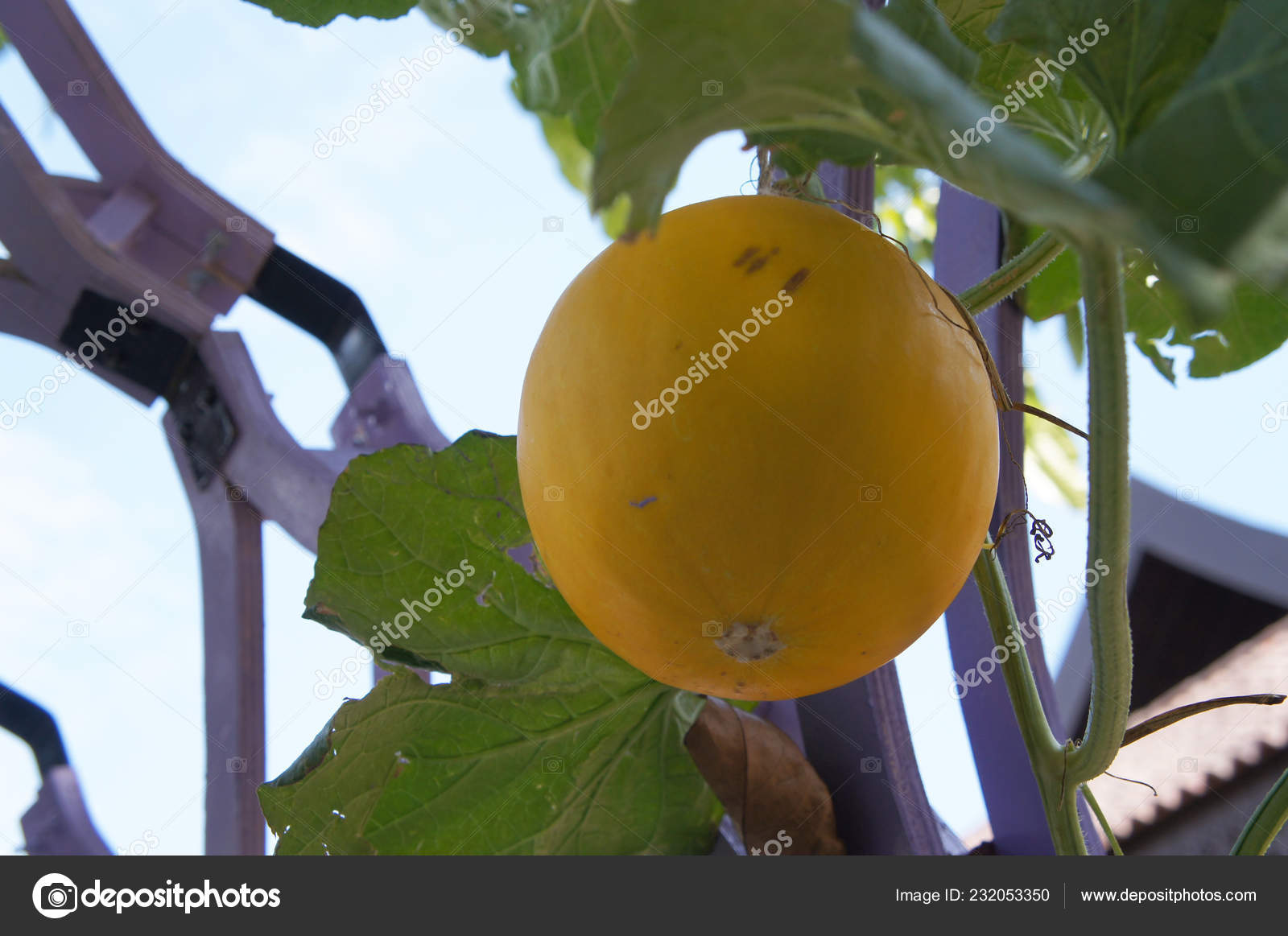 Cantaloupe Rock Melon Fruit Scientific Name Cucumis Melo Var Cantalupo Stock Photo C Aisyaqilumar 232053350 He was seen being annoying by orange until he decided to take off with his fiancée, balloon. depositphotos