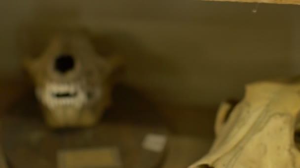 Pohled na lebky Monkey podél jiné kostry zvířat