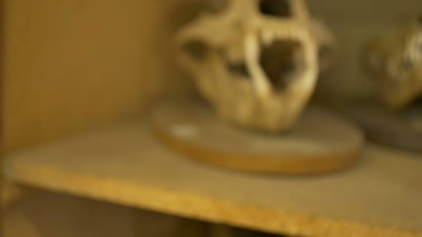 Lebka ze starého vlka v zoologické laboratoře