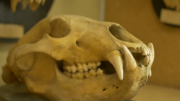 View of skull of a wolf in a zoological laboratory.