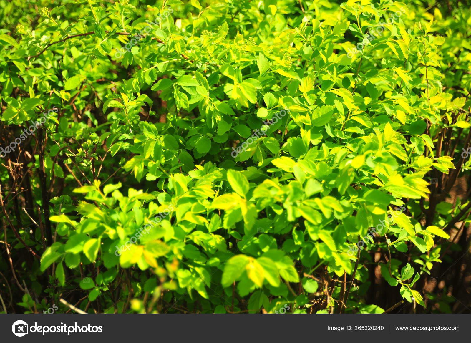 Bright Green Shrub Leaves Spring Nature Summer Outdoor Green Bush Stock Photo Image By C Olga Sunandmoon 265220240