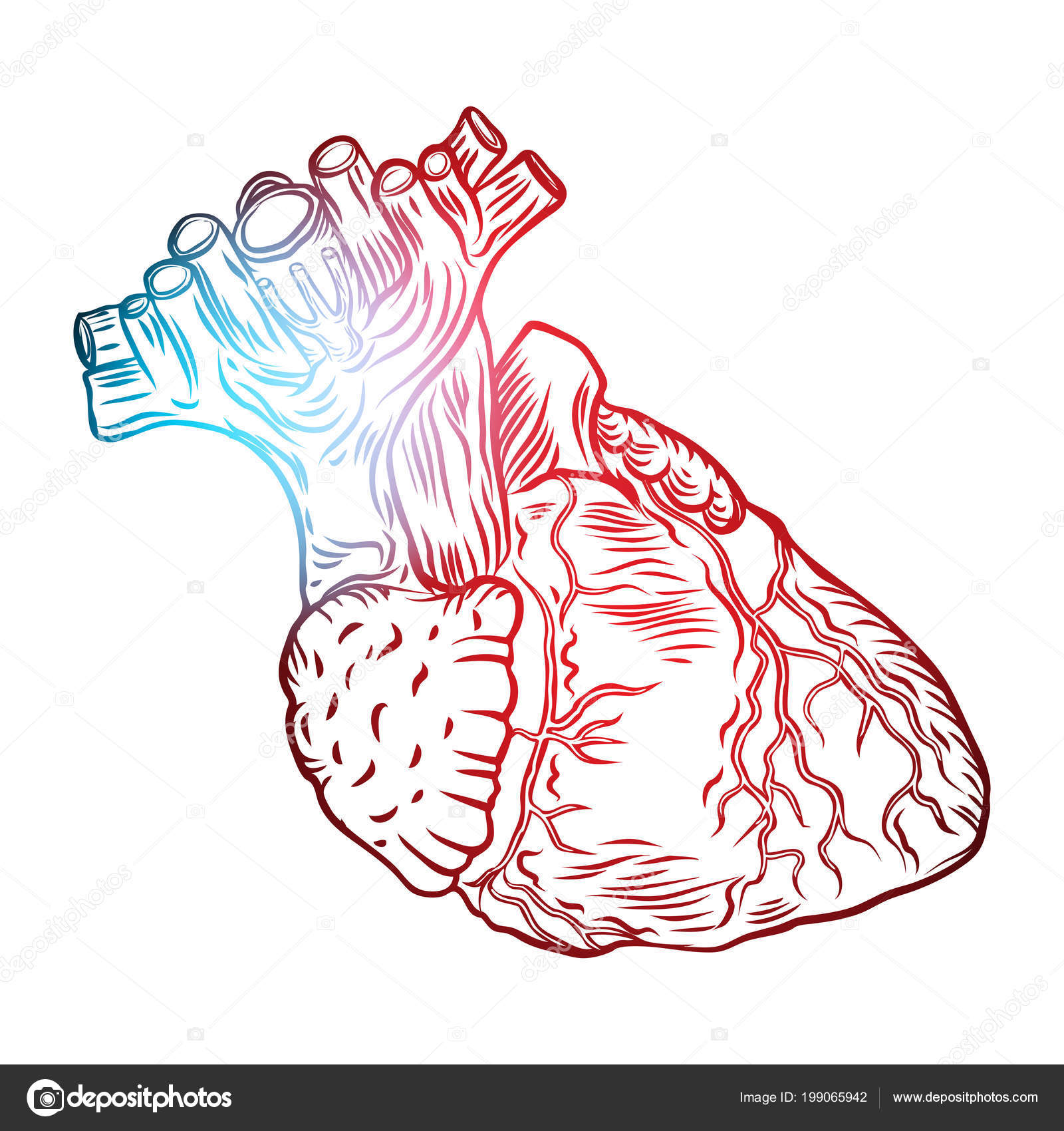 Sketched Hand Drawn Line Art Decorative Human Heart Anatomy Details