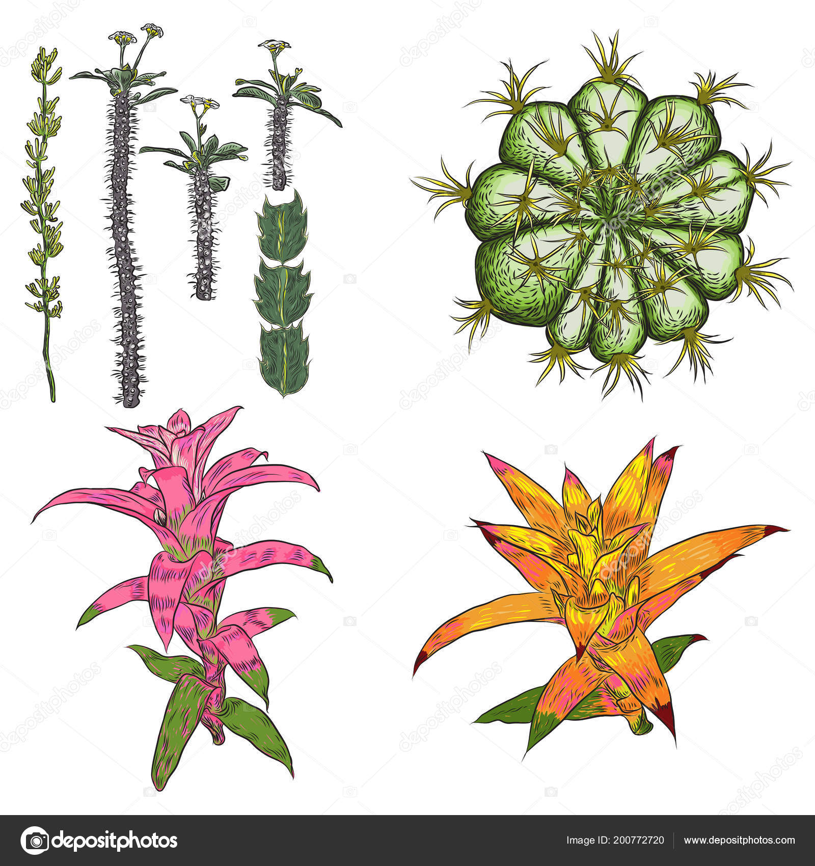 exotic cactus succulents set different cactuses cacti color drawing