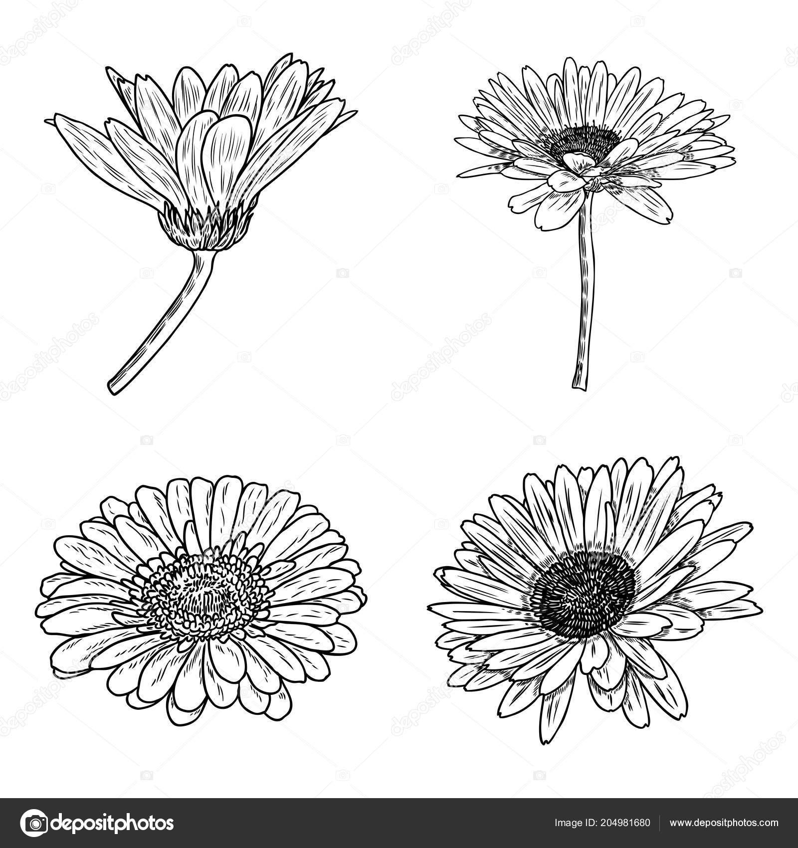Daisy floral botany collection sketch daisy flower drawings black daisy floral botany collection sketch daisy flower drawings black and white line art isolated on white backgrounds hand drawn botanical illustrations izmirmasajfo