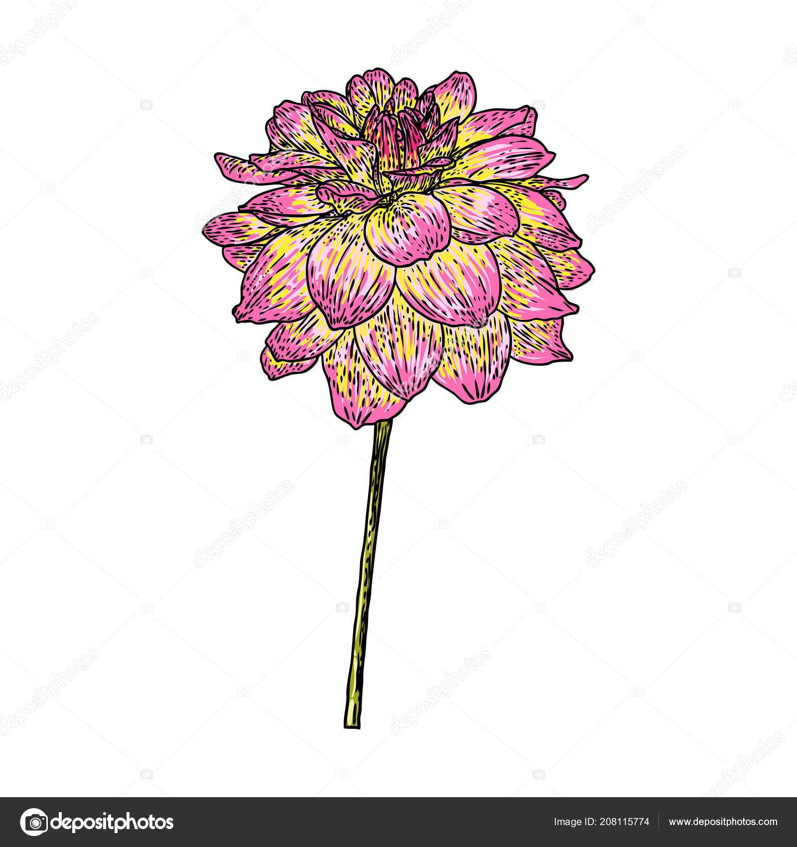Fleur Dahlia Zinnia Dessin Couleur Croquis Dessins Trait