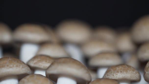Houbové houby, Buna Shimeji Champignons. Gurmánské houby. Otáčeje se na otočný talíř a izolovaný na černém pozadí. Zavře makro. 4k.