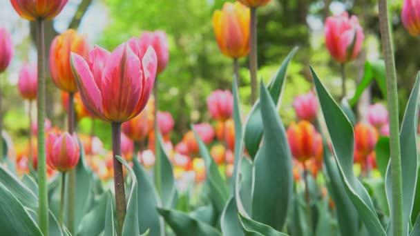 Nádherně se nachází pod červenými, žlutými a růžovými jarní tulipány v místním turistickém parku, časně slunného jitra s bokehem. Tulipán kvete. Městský zahradní koncept.