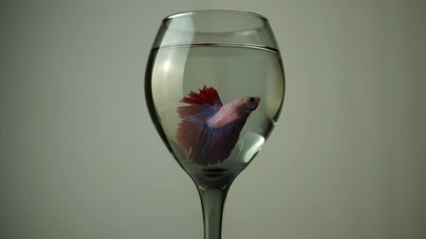 Barevný červený se bojuje Betta do skleněného džbánu. Thajská Siamské krásy ukazují na ploutve v šálku.