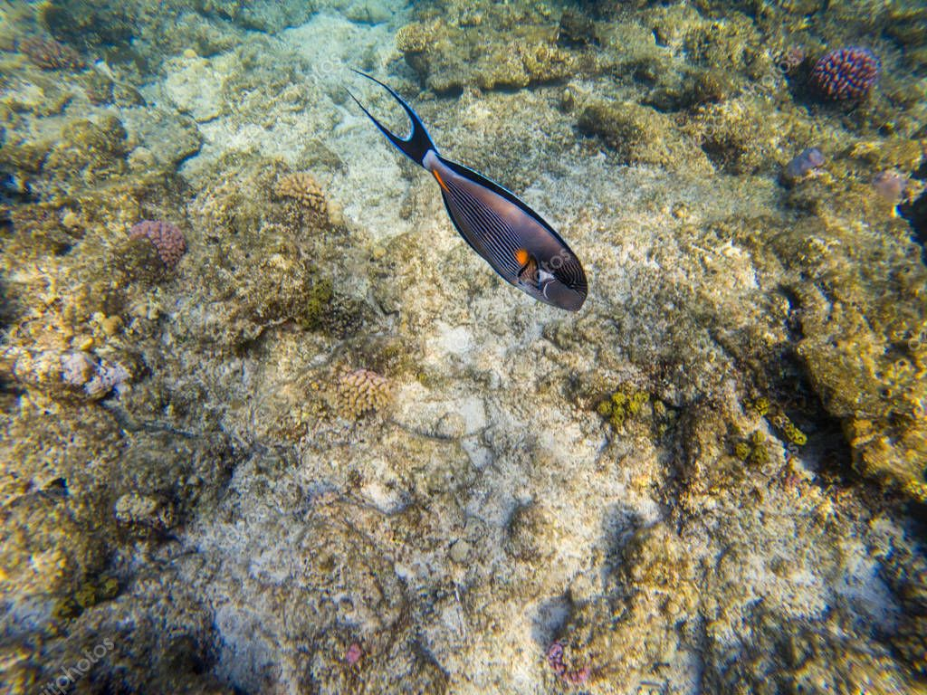 Sohal Surgeon fish at the red sea coral reef