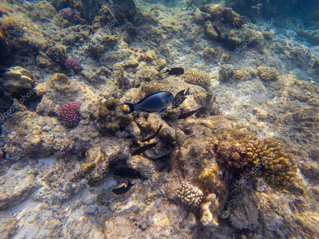 Black surgeonfish and Arabian sohal surgeon fish in the natural environment swimming by coral reef