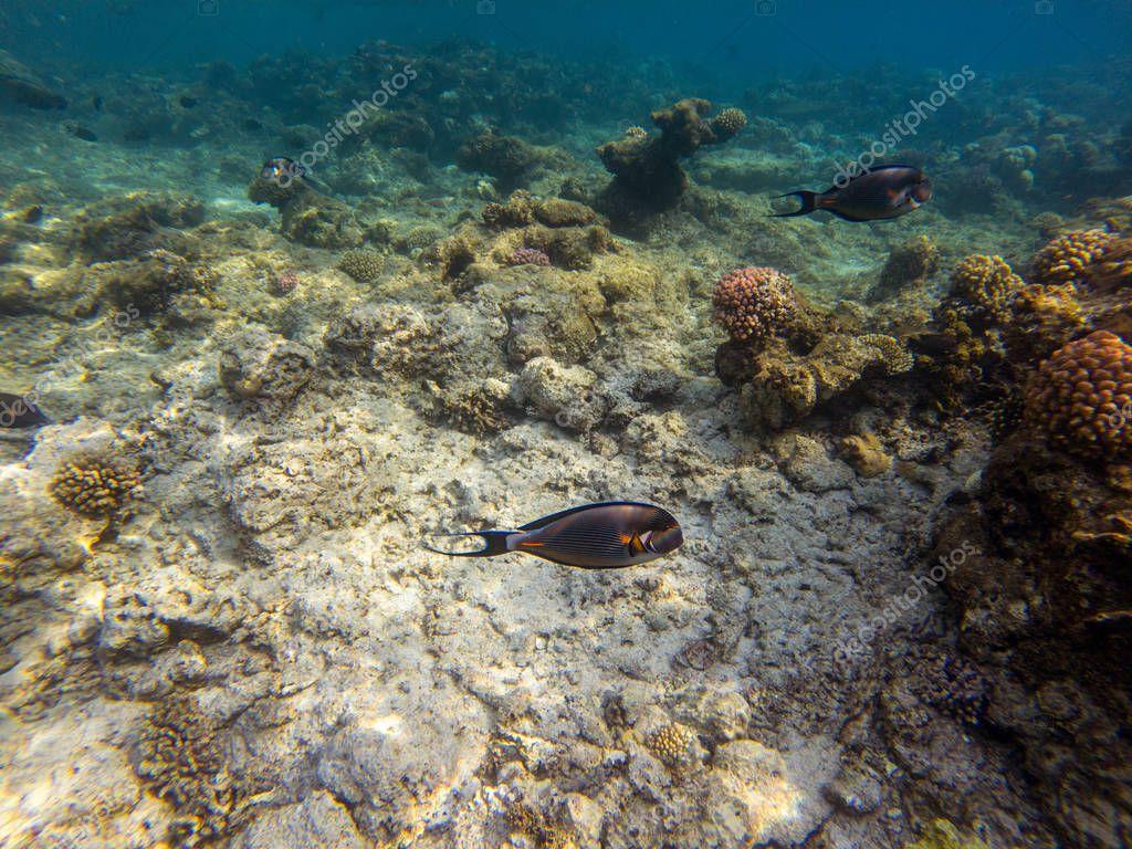 Arabian sohal surgeon fish in the natural environment