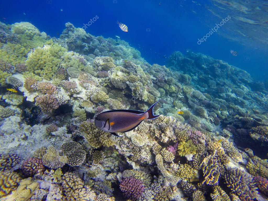 Surgeon fish at the Red Sea coral reef