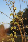 Close up of buds on tree branches