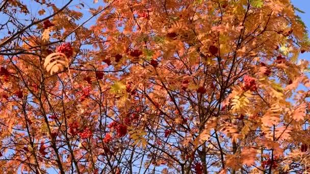 Ősszel. Sárga és narancssárga piros levelek hegyi kőris ellen a kék ég a város, imbolygott a szélben, különböző irányokba létrehozása jó hangulatban vörös érett bogyókkal