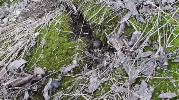 Mladý zelený mechem se starými listy a malými větvemi na půdě pod přirozeným světlem. Zelený mech a starý loňský olistění na jaře za denního světla