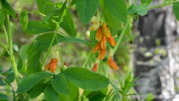 Lathyrus. blüht Erbsen, wiegt sich im Wind auf dem Hintergrund grüner Blätter. Sommer. Erbsen auf dem Hintergrund von Grün bei Tageslicht
