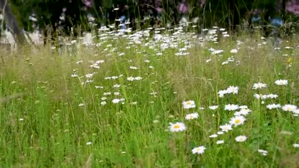 Wildflowers of chamomile swaying in the wind on the background of other herbs . Chamomile genus of perennial flowering plants of the Aster Family