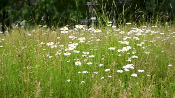 Wildflowers a Kamilla imbolygott a szél a háttérben más gyógynövények. Kamilla nemzetség évelő virágos növények az Aster család