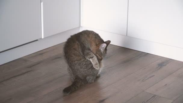Laminát. Kočka leží na laminátovou podlahu v bytě