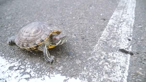 Želva. Želva, procházení na asfaltu