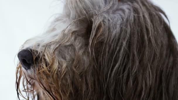 Maulkorb Hund mit langen Haaren