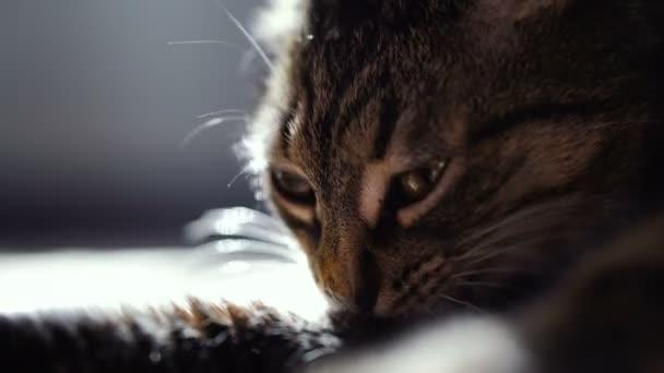 Macska nyalás a mancsa. Videóinak 25 képkocka
