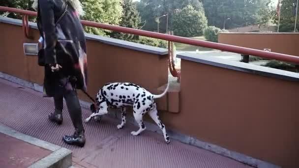 Dalmatian dog breed. Dogs on a leash