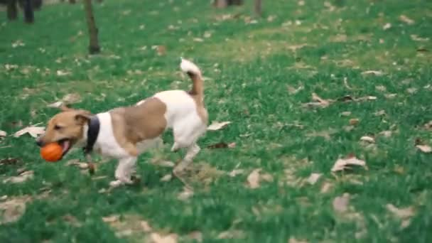 Jack Russell breed dog playing with a ball