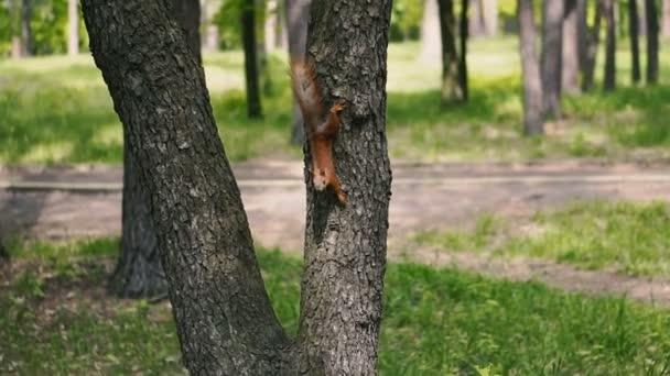 Squirrels run through the woods